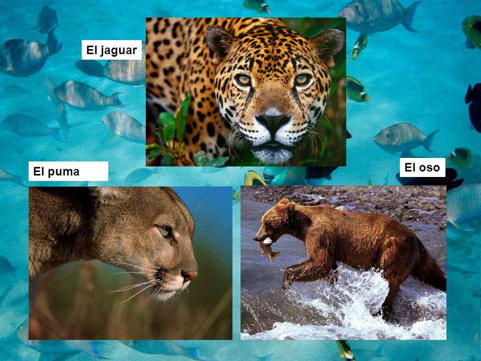 El jaguar El puma El oso