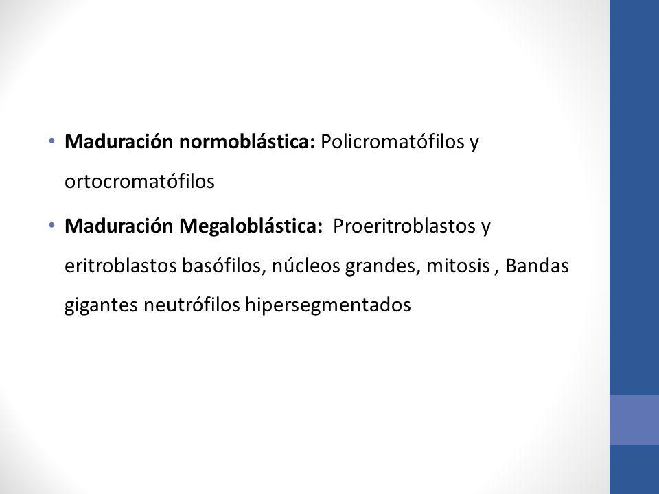 Maduración normoblástica: Policromatófilos y ortocromatófilos Maduración Megaloblástica: Proeritroblastos y eritroblastos basófilos, núcleos grandes,