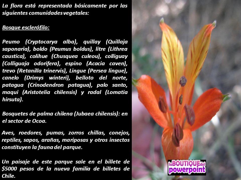 La flora está representada básicamente por las siguientes comunidades vegetales: Bosque esclerófilo: Peumo (Cryptocarya alba), quillay (Quillaja saponaria), boldo (Peumus boldus), litre (Lithrea caustica), colihue (Chusquea culeou), colliguay (Colliguaja odorifera), espino (Acacia caven), trevo (Retanilla trinervis), Lingue (Persea lingue), canelo (Drimys winteri), belloto del norte, patagua (Crinodendron patagua), palo santo, maqui (Aristotelia chilensis) y radal (Lomatia hirsuta).
