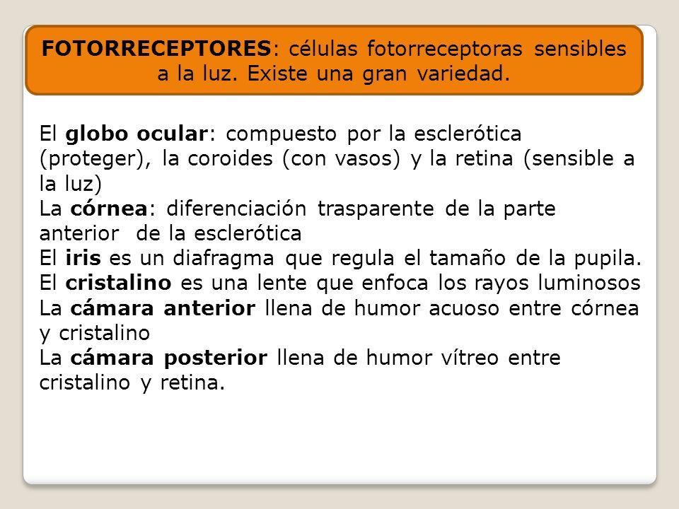 FOTORRECEPTORES: células fotorreceptoras sensibles a la luz. Existe una gran variedad. El globo ocular: compuesto por la esclerótica (proteger), la co