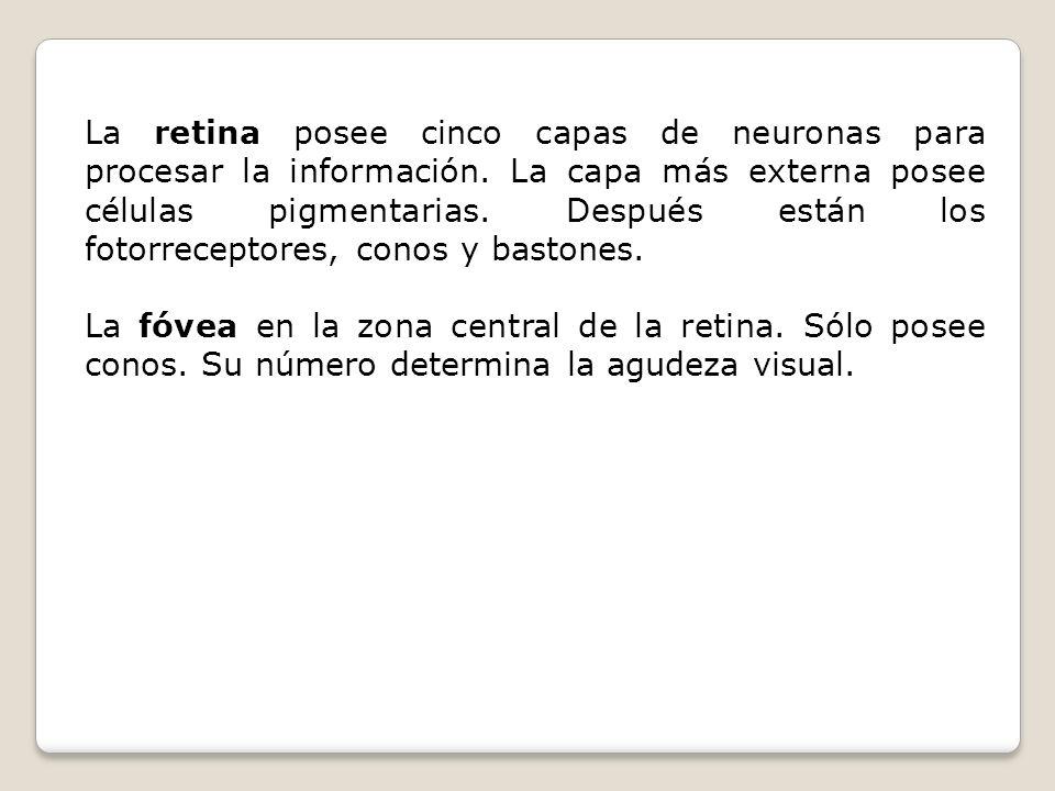 La retina posee cinco capas de neuronas para procesar la información. La capa más externa posee células pigmentarias. Después están los fotorreceptore