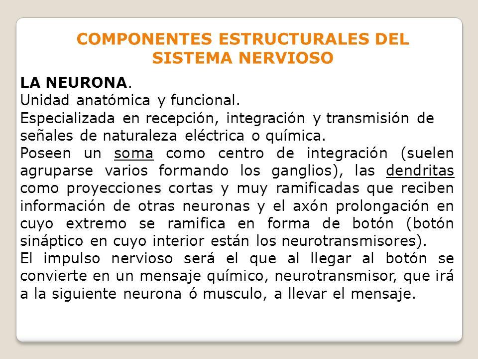 COMPONENTES ESTRUCTURALES DEL SISTEMA NERVIOSO LA NEURONA. Unidad anatómica y funcional. Especializada en recepción, integración y transmisión de seña