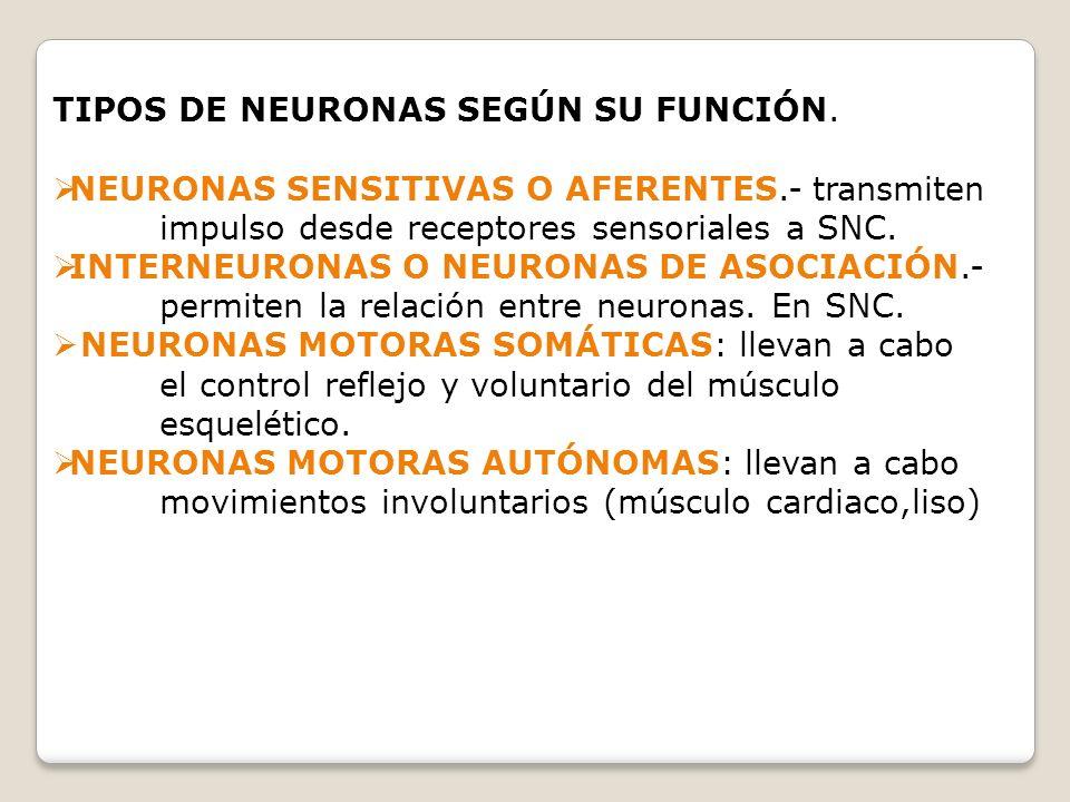 TIPOS DE NEURONAS SEGÚN SU FUNCIÓN. NEURONAS SENSITIVAS O AFERENTES.- transmiten impulso desde receptores sensoriales a SNC. INTERNEURONAS O NEURONAS