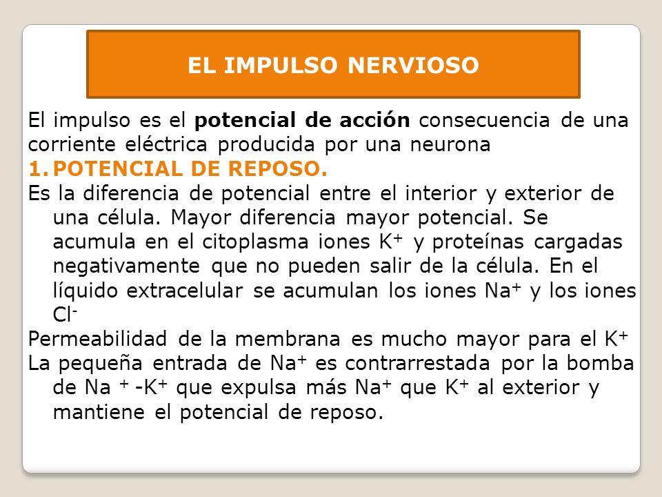 EL IMPULSO NERVIOSO El impulso es el potencial de acción consecuencia de una corriente eléctrica producida por una neurona 1.POTENCIAL DE REPOSO. Es l
