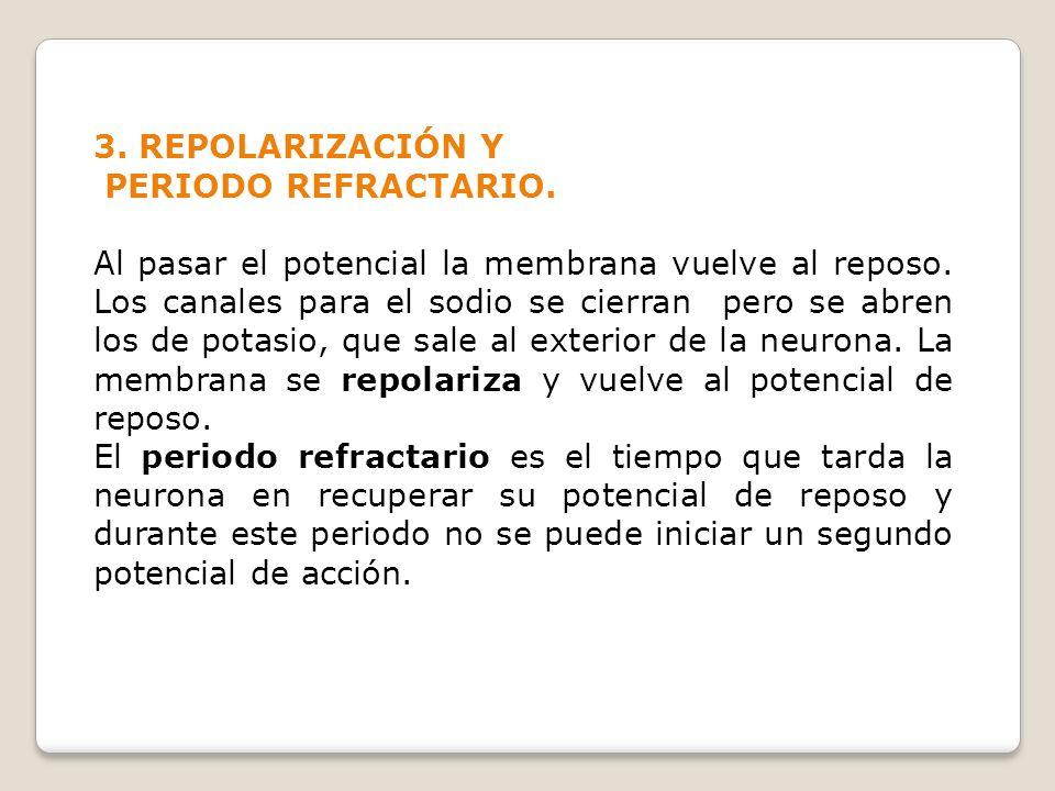 3. REPOLARIZACIÓN Y PERIODO REFRACTARIO. Al pasar el potencial la membrana vuelve al reposo. Los canales para el sodio se cierran pero se abren los de