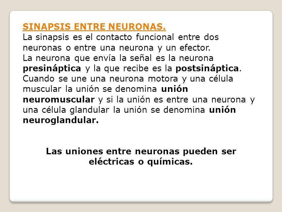 SINAPSIS ENTRE NEURONAS. La sinapsis es el contacto funcional entre dos neuronas o entre una neurona y un efector. La neurona que envía la señal es la