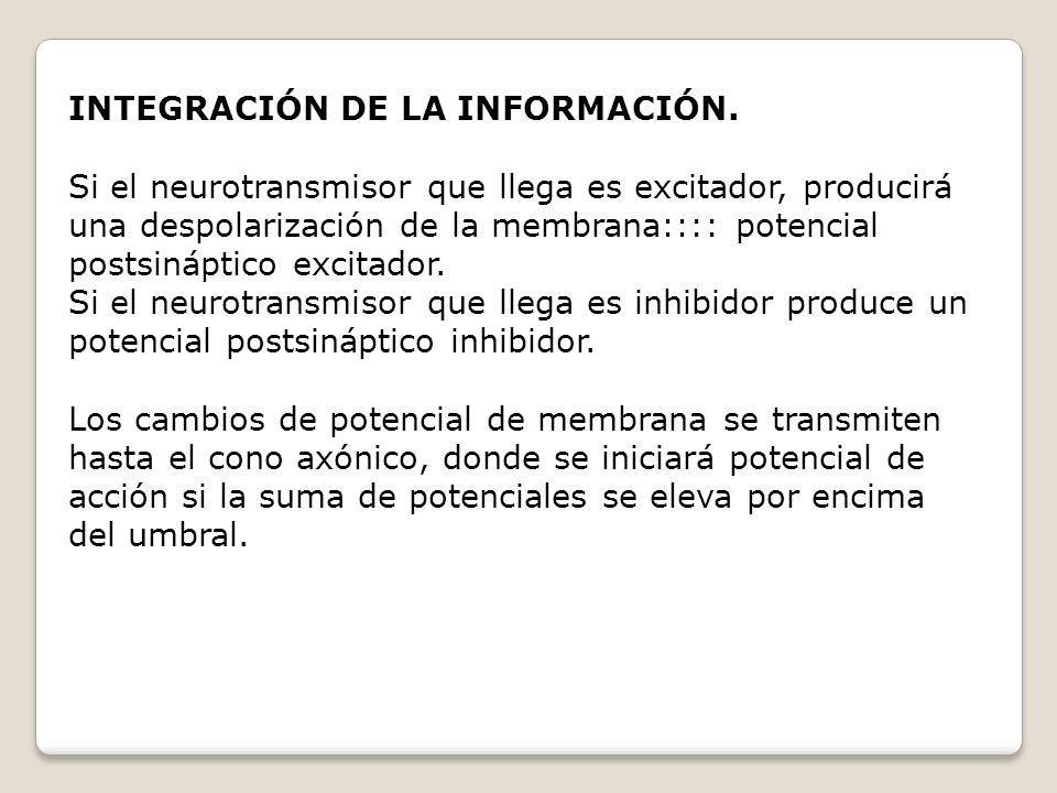 INTEGRACIÓN DE LA INFORMACIÓN. Si el neurotransmisor que llega es excitador, producirá una despolarización de la membrana:::: potencial postsináptico