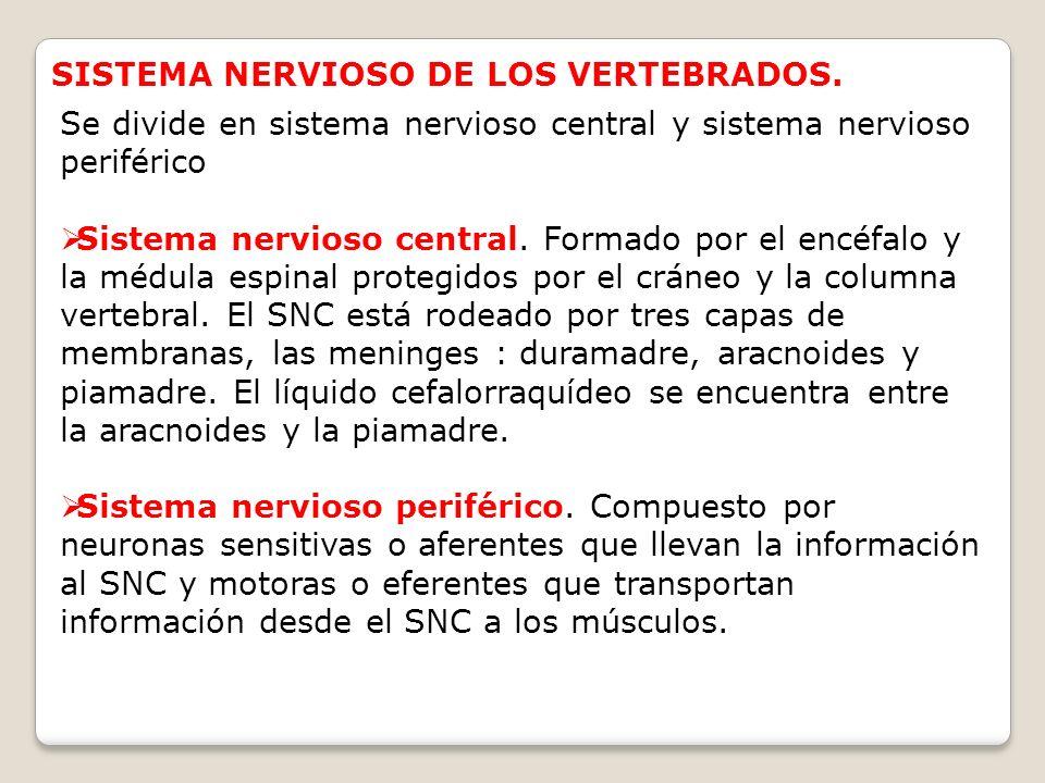 SISTEMA NERVIOSO DE LOS VERTEBRADOS. Se divide en sistema nervioso central y sistema nervioso periférico Sistema nervioso central. Formado por el encé