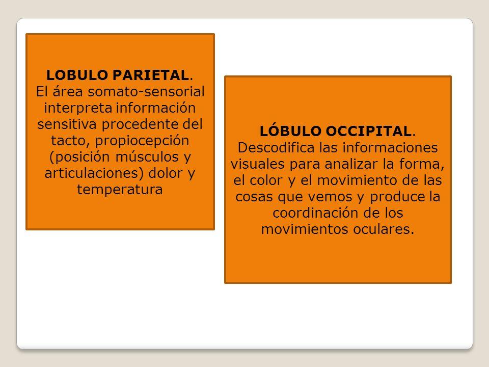 LOBULO PARIETAL. El área somato-sensorial interpreta información sensitiva procedente del tacto, propiocepción (posición músculos y articulaciones) do