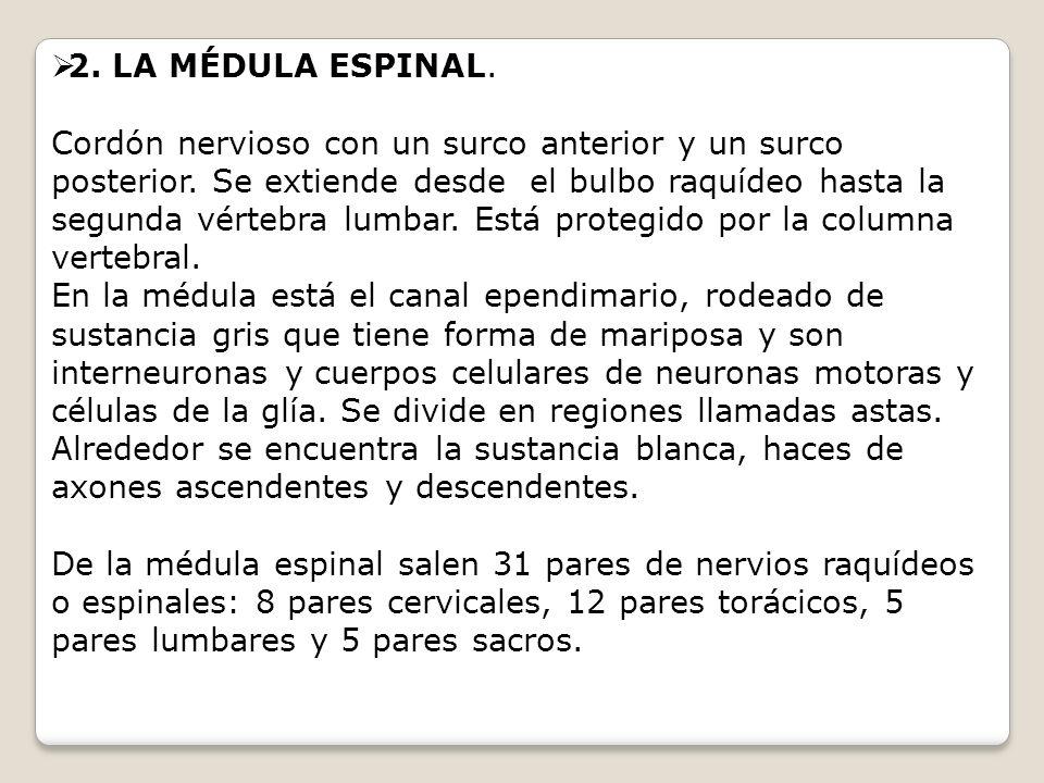 2. LA MÉDULA ESPINAL. Cordón nervioso con un surco anterior y un surco posterior. Se extiende desde el bulbo raquídeo hasta la segunda vértebra lumbar