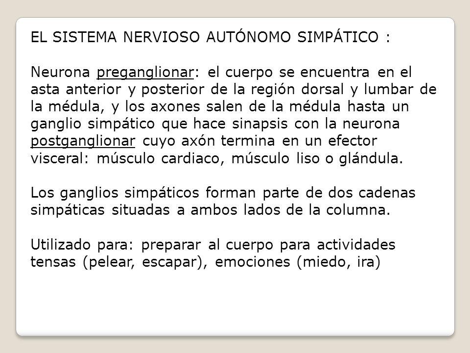 EL SISTEMA NERVIOSO AUTÓNOMO SIMPÁTICO : Neurona preganglionar: el cuerpo se encuentra en el asta anterior y posterior de la región dorsal y lumbar de