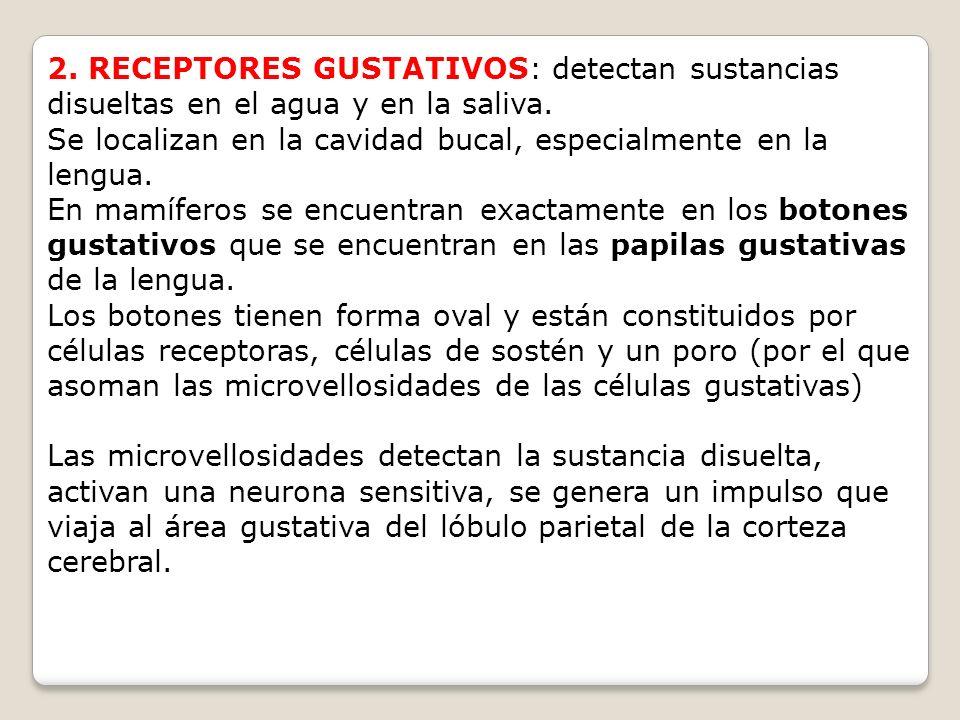 2. RECEPTORES GUSTATIVOS: detectan sustancias disueltas en el agua y en la saliva. Se localizan en la cavidad bucal, especialmente en la lengua. En ma