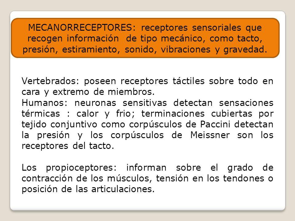 MECANORRECEPTORES: receptores sensoriales que recogen información de tipo mecánico, como tacto, presión, estiramiento, sonido, vibraciones y gravedad.