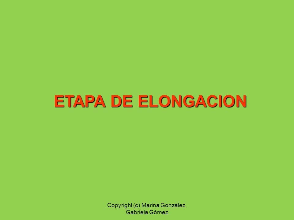 ETAPA DE ELONGACION Copyright (c) Marina González, Gabriela Gómez