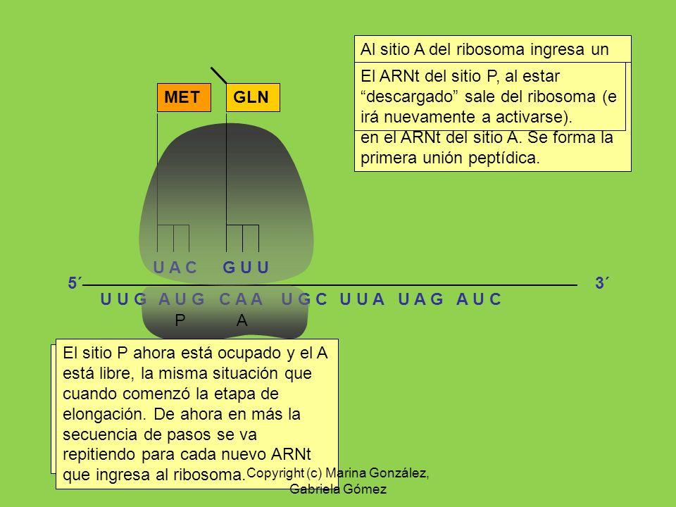 A U G C A AU G C Al sitio A del ribosoma ingresa un ARNt (aquel cuyo anticodón sea complementario al codón siguiente) U A C U U AU A GU U GA U C P A E