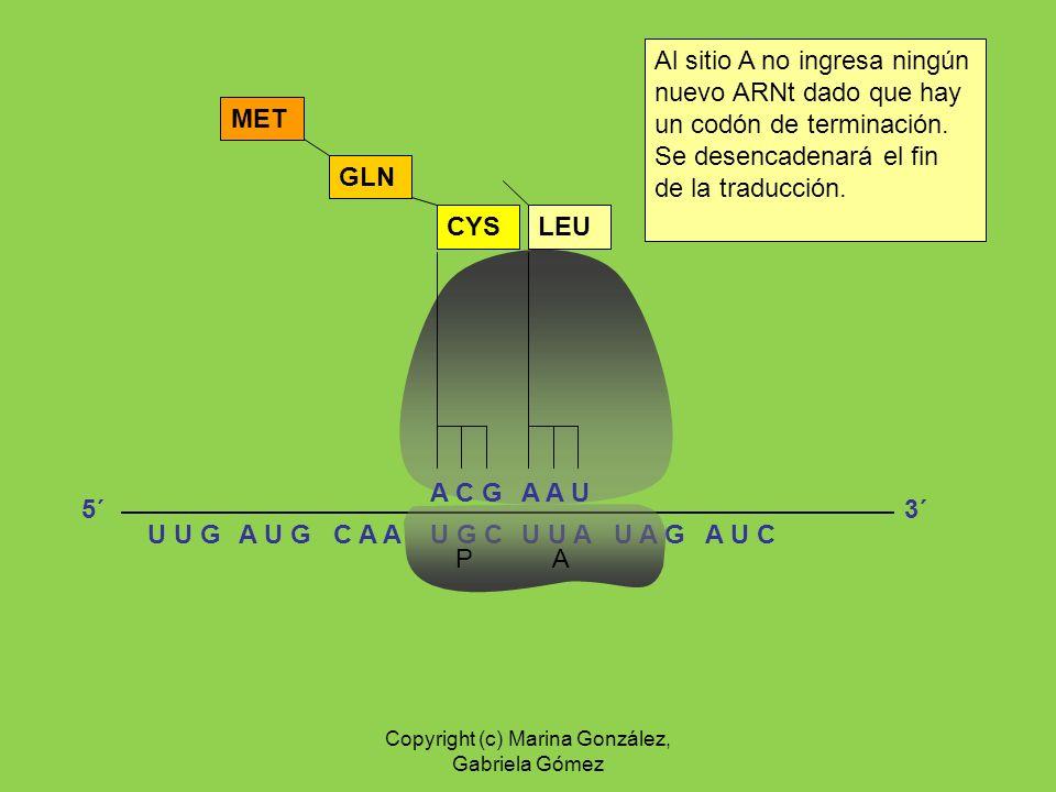 U G CU U AA U G C A AU A GU U GA U C P A A C G CYS GLN MET A A U LEU Al sitio A no ingresa ningún nuevo ARNt dado que hay un codón de terminación. Se