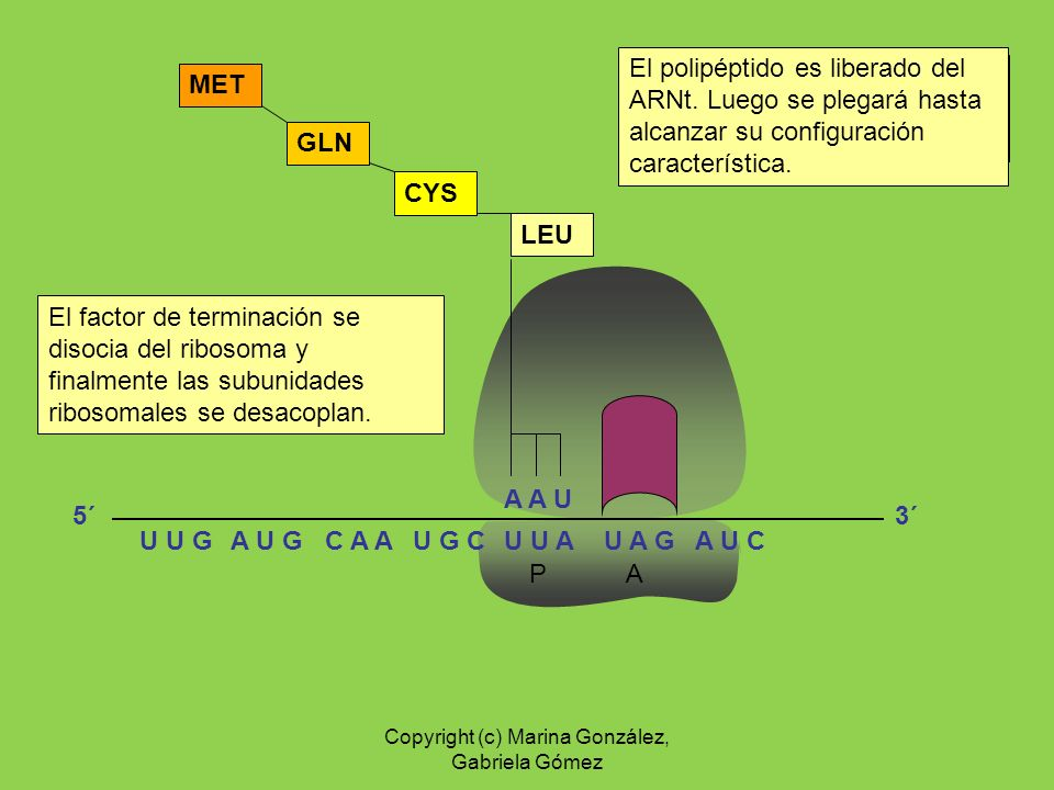 P A A A U LEU CYS GLN MET El codón de terminación es reconocido por un factor de terminación. El polipéptido es liberado del ARNt. Luego se plegará ha