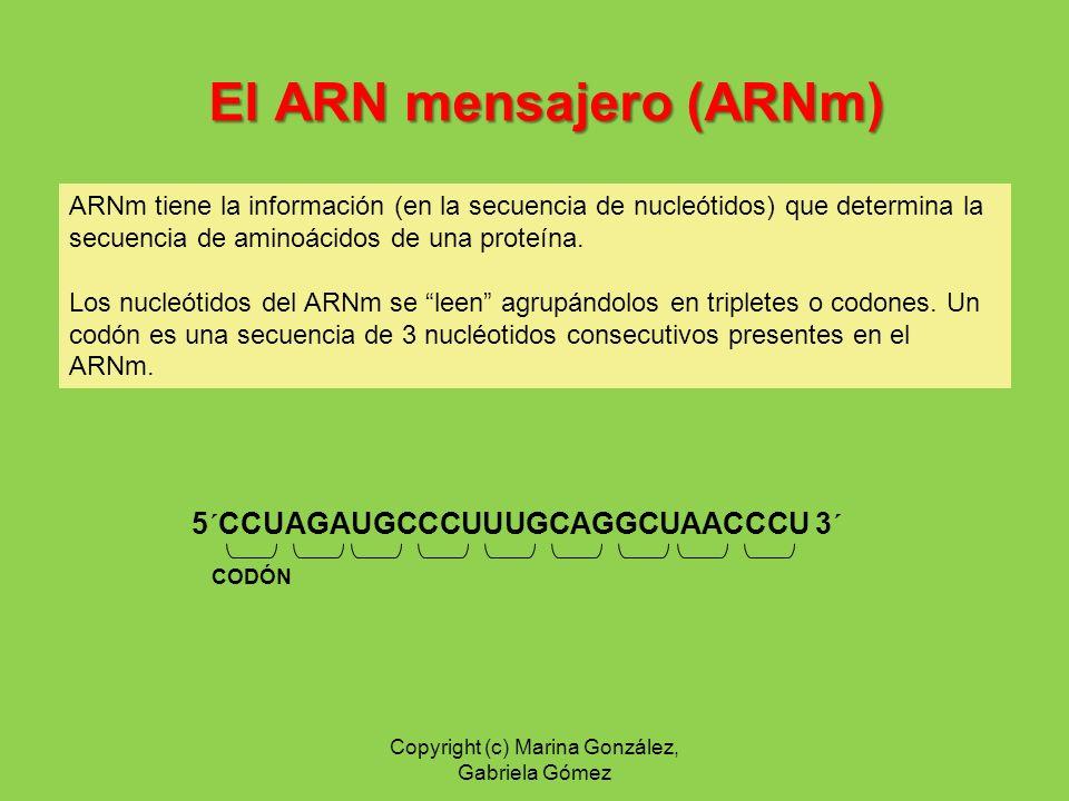 El ARN de transferencia (ARNt) son intermediarios entre los codones del ARNm y los aminoácidos.