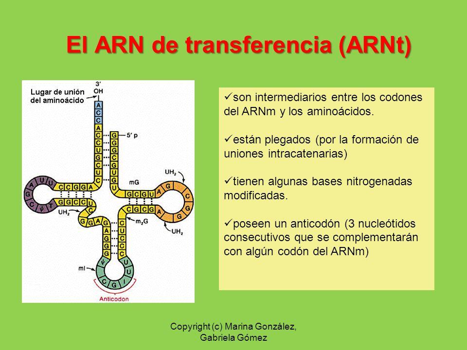 El ARN de transferencia (ARNt) son intermediarios entre los codones del ARNm y los aminoácidos. están plegados (por la formación de uniones intracaten