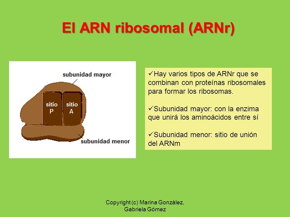 El ARN ribosomal (ARNr) Hay varios tipos de ARNr que se combinan con proteínas ribosomales para formar los ribosomas. Subunidad mayor: con la enzima q