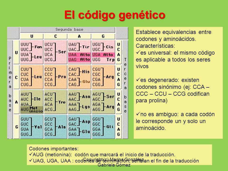El código genético Establece equivalencias entre codones y aminoácidos. Características: es universal: el mismo código es aplicable a todos los seres