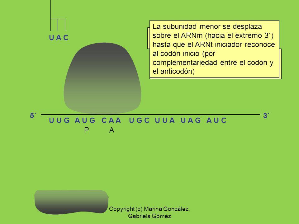 A U G C A AU G CU U AU A GU U GA U C U A C MET El ARNt iniciador y la subunidad menor del ribosoma se asocian al ARNm. Se acopla la subunidad mayor de
