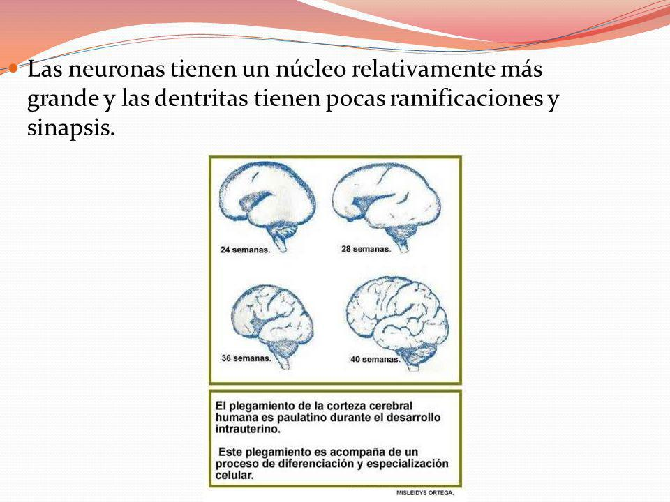 Las neuronas tienen un núcleo relativamente más grande y las dentritas tienen pocas ramificaciones y sinapsis.