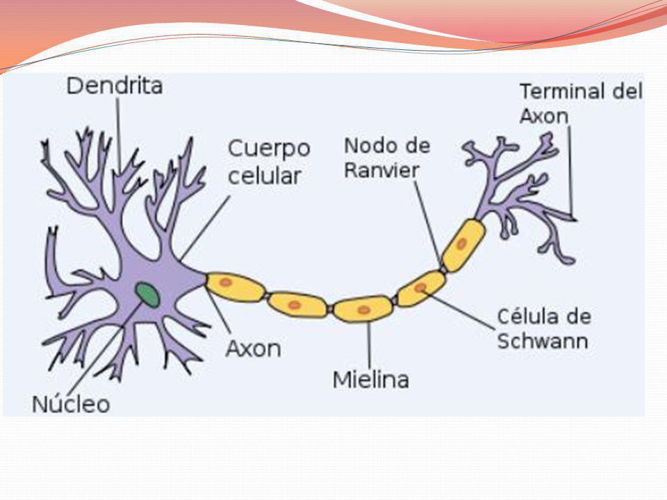 En el momento de nacer, un lactante tiene aproximadamente 100 mil millones de neuronas, cada una de las cuales puede producir 15.000 sinápsis (conexiones).