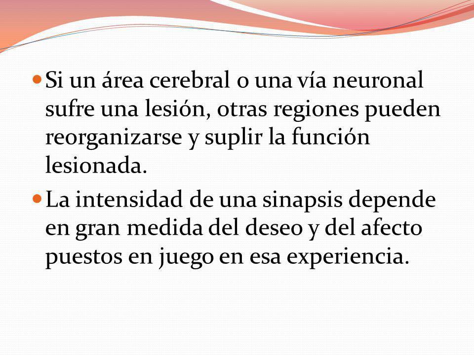 Si un área cerebral o una vía neuronal sufre una lesión, otras regiones pueden reorganizarse y suplir la función lesionada. La intensidad de una sinap