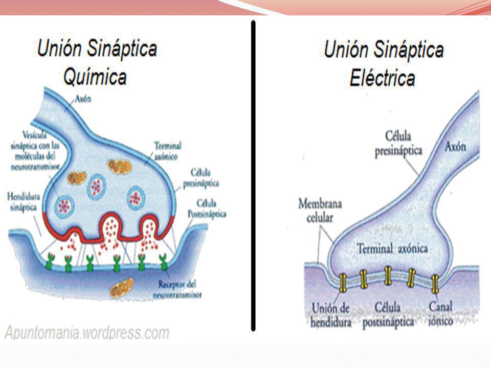 RED DE CONCEPTOS: SEGÚN SU FUNCIÓN SNC: Se encuentra en el eje central del cuerpo.