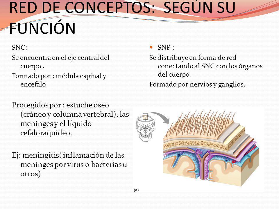 RED DE CONCEPTOS: SEGÚN SU FUNCIÓN SNC: Se encuentra en el eje central del cuerpo. Formado por : médula espinal y encéfalo Protegidos por : estuche ós
