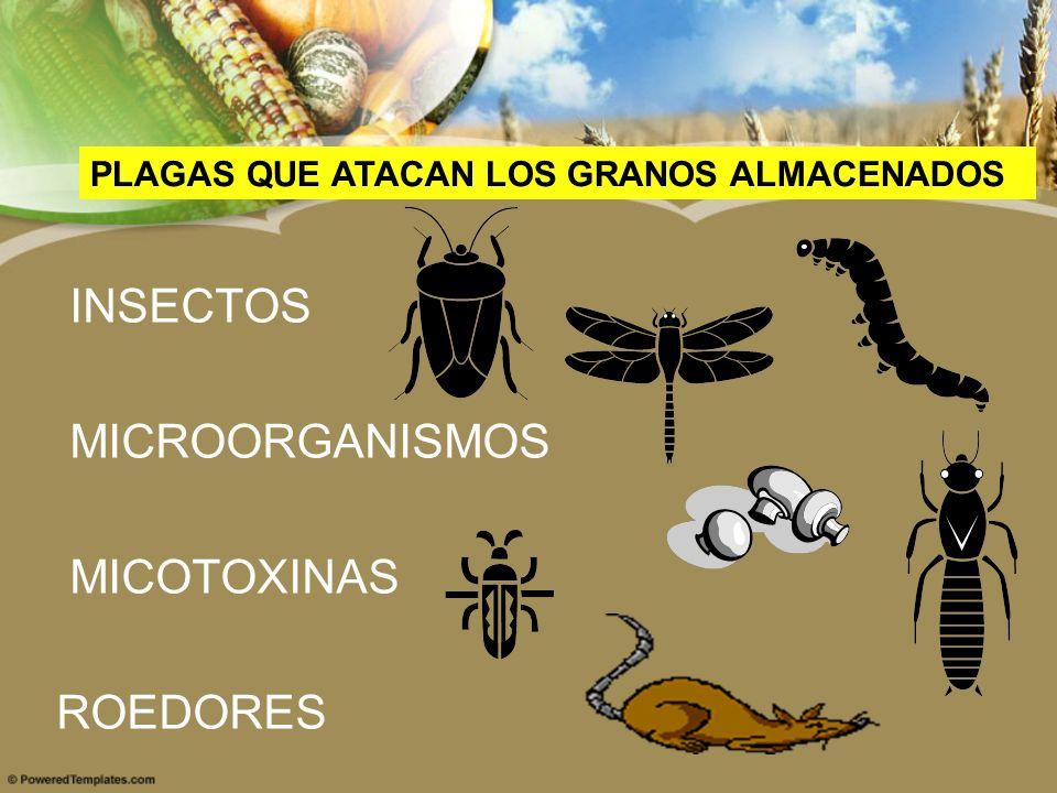 INSECTOS MICROORGANISMOS MICOTOXINAS ROEDORES PLAGAS QUE ATACAN LOS GRANOS ALMACENADOS