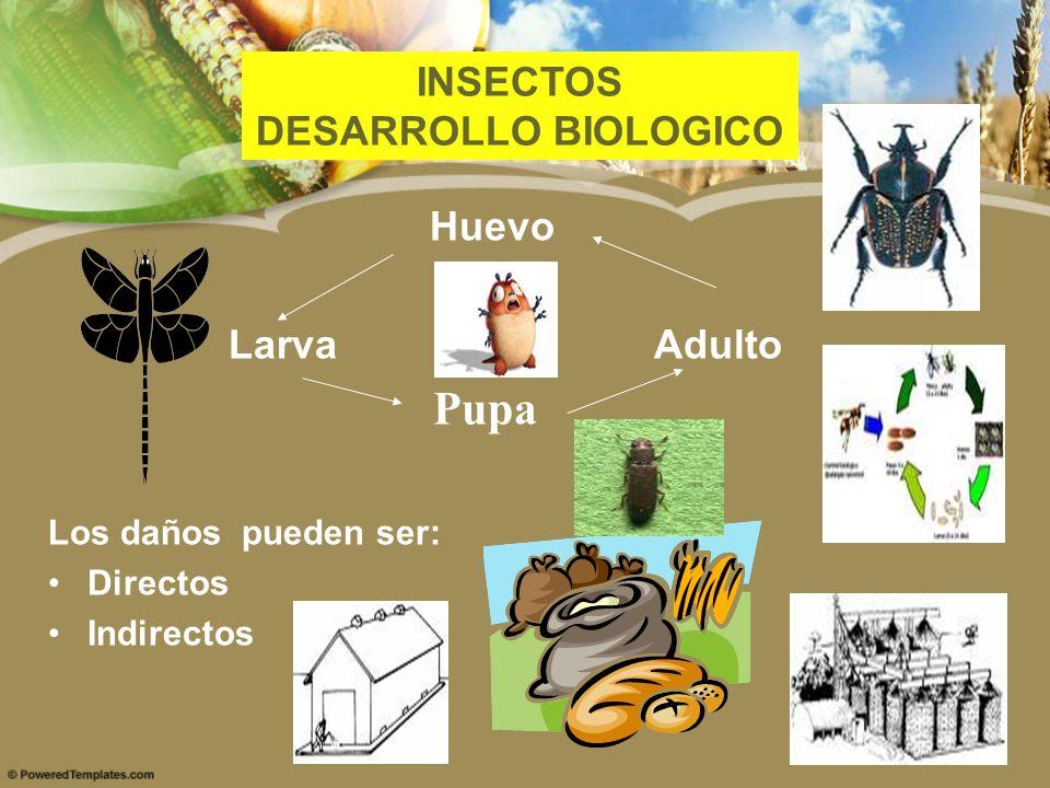 Huevo Larva Adulto Pupa Los daños pueden ser: Directos Indirectos INSECTOS DESARROLLO BIOLOGICO