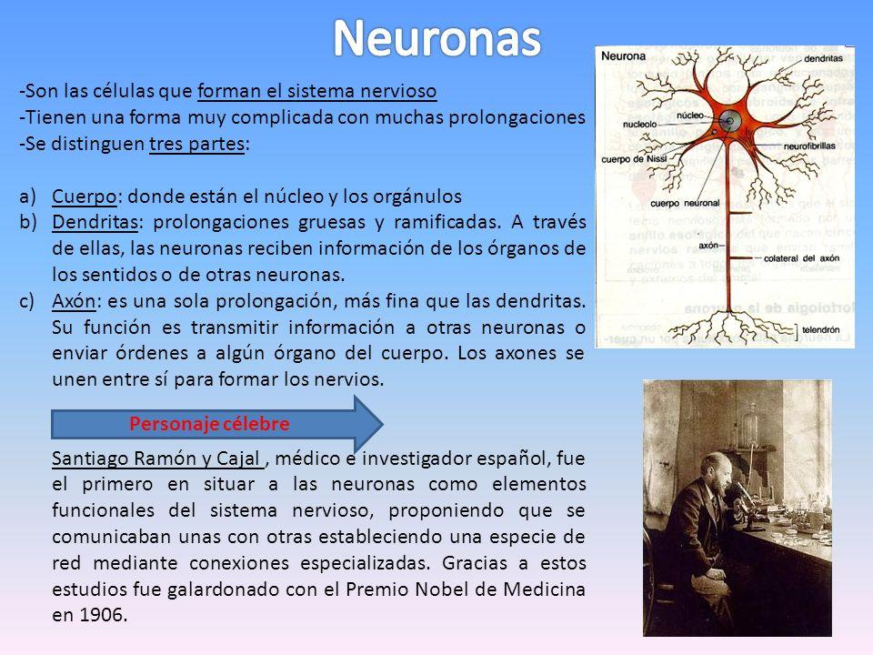 -Son las células que forman el sistema nervioso -Tienen una forma muy complicada con muchas prolongaciones -Se distinguen tres partes: a)Cuerpo: donde