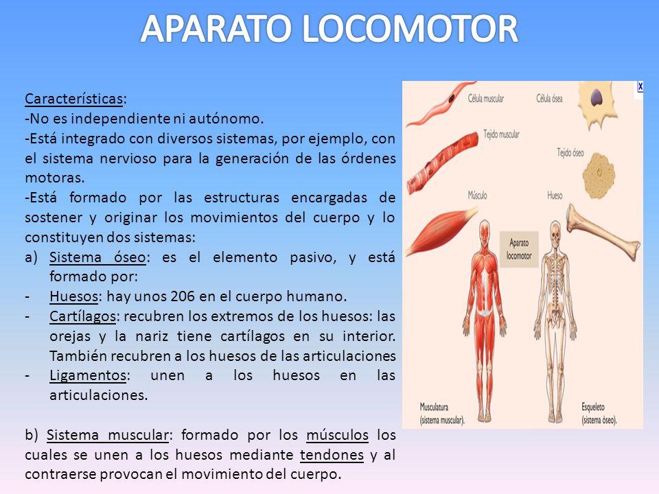 Características: -No es independiente ni autónomo. -Está integrado con diversos sistemas, por ejemplo, con el sistema nervioso para la generación de l