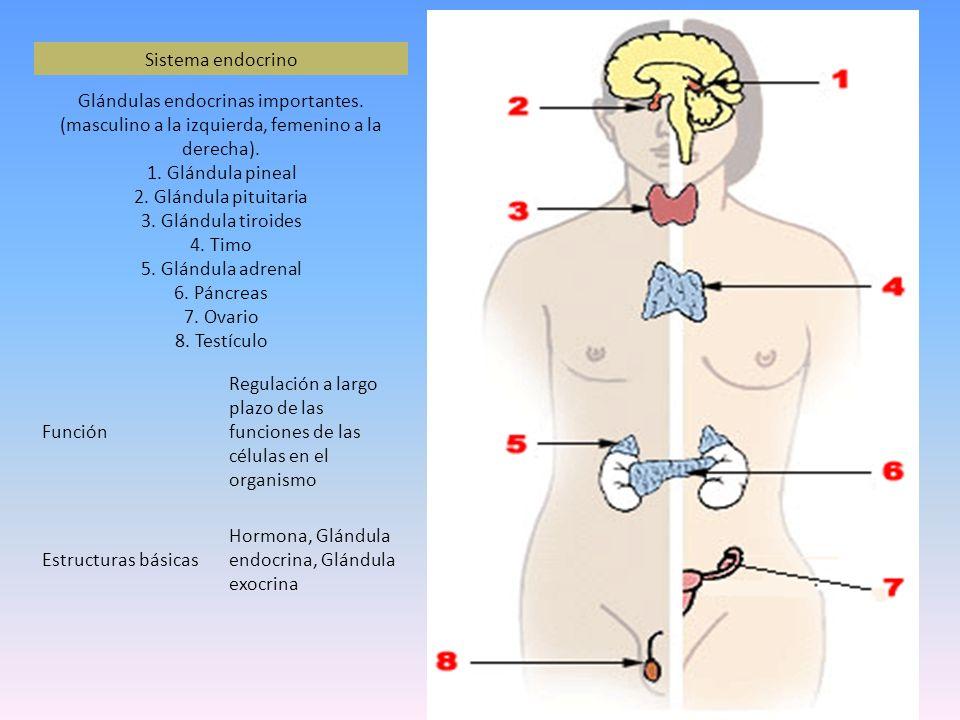 Sistema endocrino Glándulas endocrinas importantes. (masculino a la izquierda, femenino a la derecha). 1. Glándula pineal 2. Glándula pituitaria 3. Gl