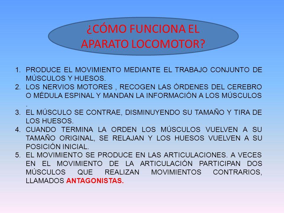 ¿CÓMO FUNCIONA EL APARATO LOCOMOTOR? 1.PRODUCE EL MOVIMIENTO MEDIANTE EL TRABAJO CONJUNTO DE MÚSCULOS Y HUESOS. 2.LOS NERVIOS MOTORES, RECOGEN LAS ÓRD
