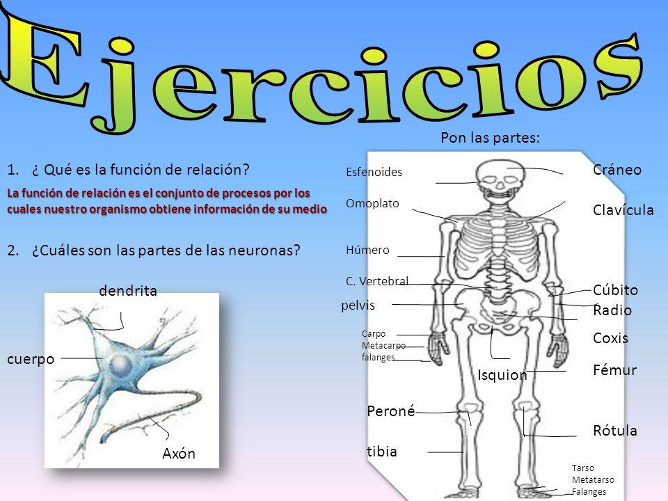 1.¿ Qué es la función de relación? 2.¿Cuáles son las partes de las neuronas? Pon las partes: Cráneo Clavícula Cúbito Radio Fémur Rótula Coxis Tarso Me