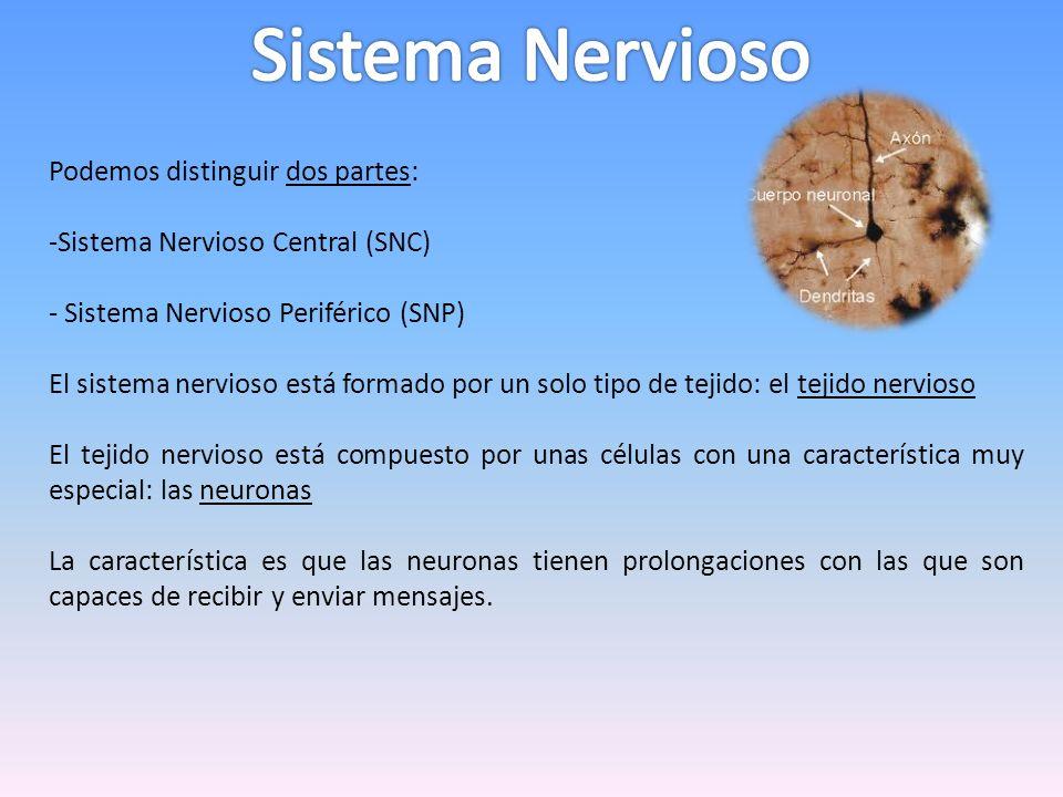 Podemos distinguir dos partes: -Sistema Nervioso Central (SNC) - Sistema Nervioso Periférico (SNP) El sistema nervioso está formado por un solo tipo d