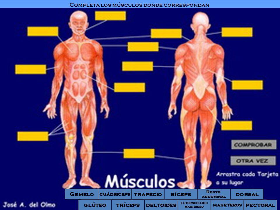 Gemelo Recto abdominal bícepstrapecio cuádriceps glúteodeltoidestríceps dorsal Esternocleido mastoideo maseteros pectoral Completa los músculos donde
