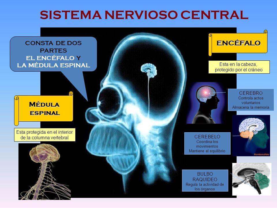 SISTEMA NERVIOSO CENTRAL CONSTA DE DOS PARTES EL ENCÉFALO Y LA MÉDULA ESPINAL ENCÉFALO Médulaespinal Esta en la cabeza, protegido por el cráneo CEREBR