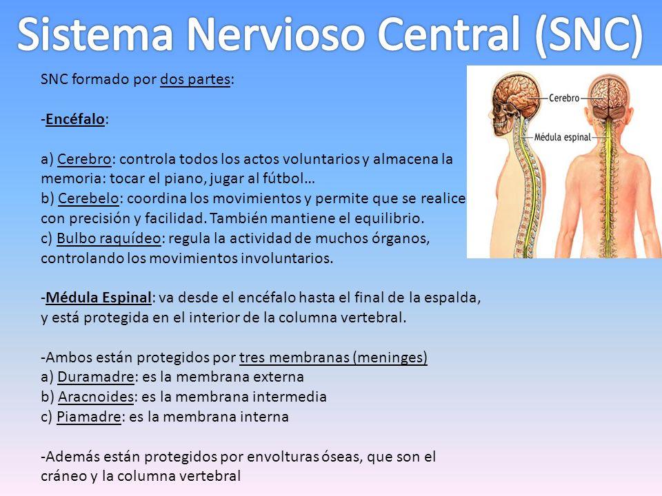 SNC formado por dos partes: -Encéfalo: a) Cerebro: controla todos los actos voluntarios y almacena la memoria: tocar el piano, jugar al fútbol… b) Cer