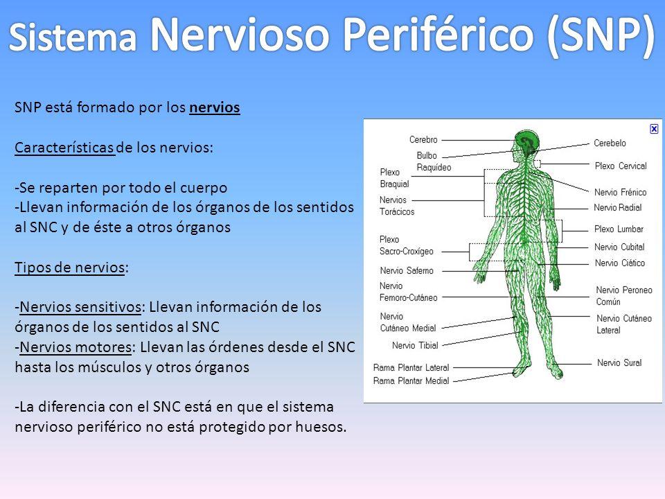 SNP está formado por los nervios Características de los nervios: -Se reparten por todo el cuerpo -Llevan información de los órganos de los sentidos al