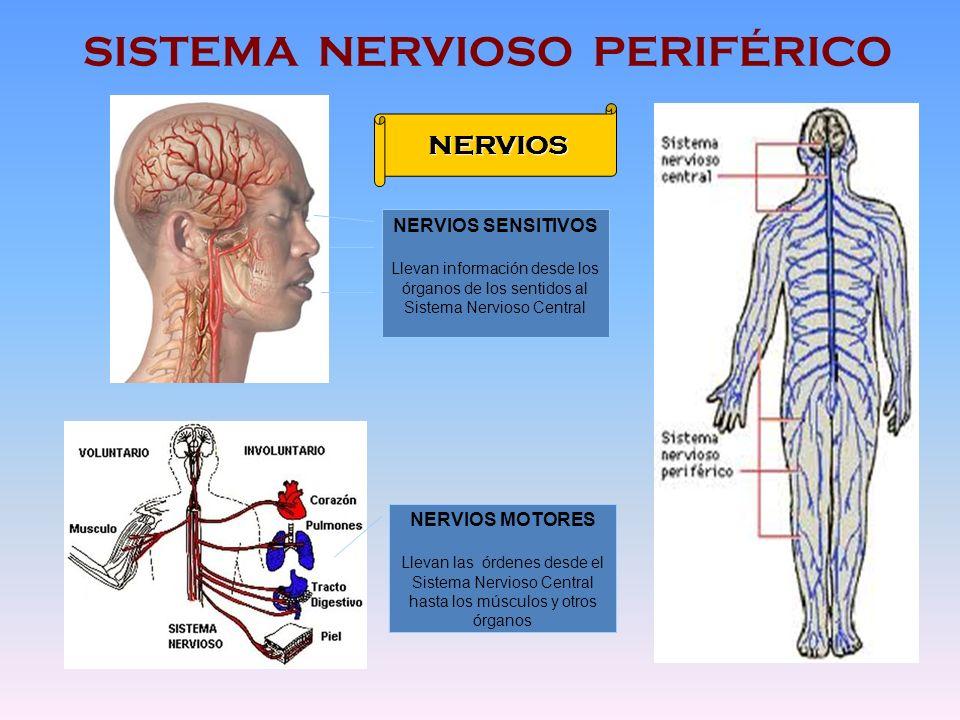 SISTEMA NERVIOSO PERIFÉRICO NERVIOS NERVIOS SENSITIVOS Llevan información desde los órganos de los sentidos al Sistema Nervioso Central NERVIOS MOTORE