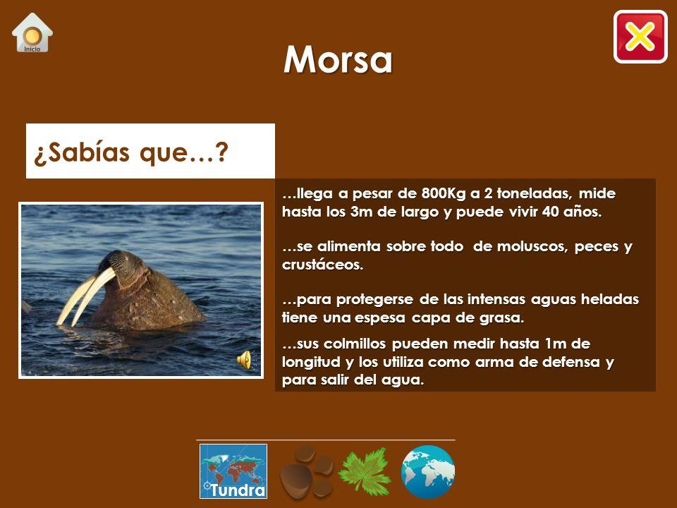 Moluscos Peces Cadena alimenticia – Oso Polar Tundra