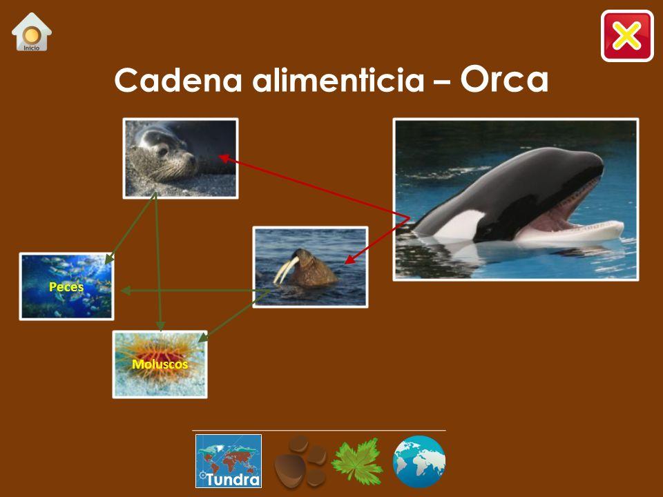 ¿Sabías que…? …mide entre 6 y 9m, alcanza un peso de 3 a 9 toneladas y llega a vivir hasta 30 años. …se alimenta de atunes, calamares, focas, pingüino