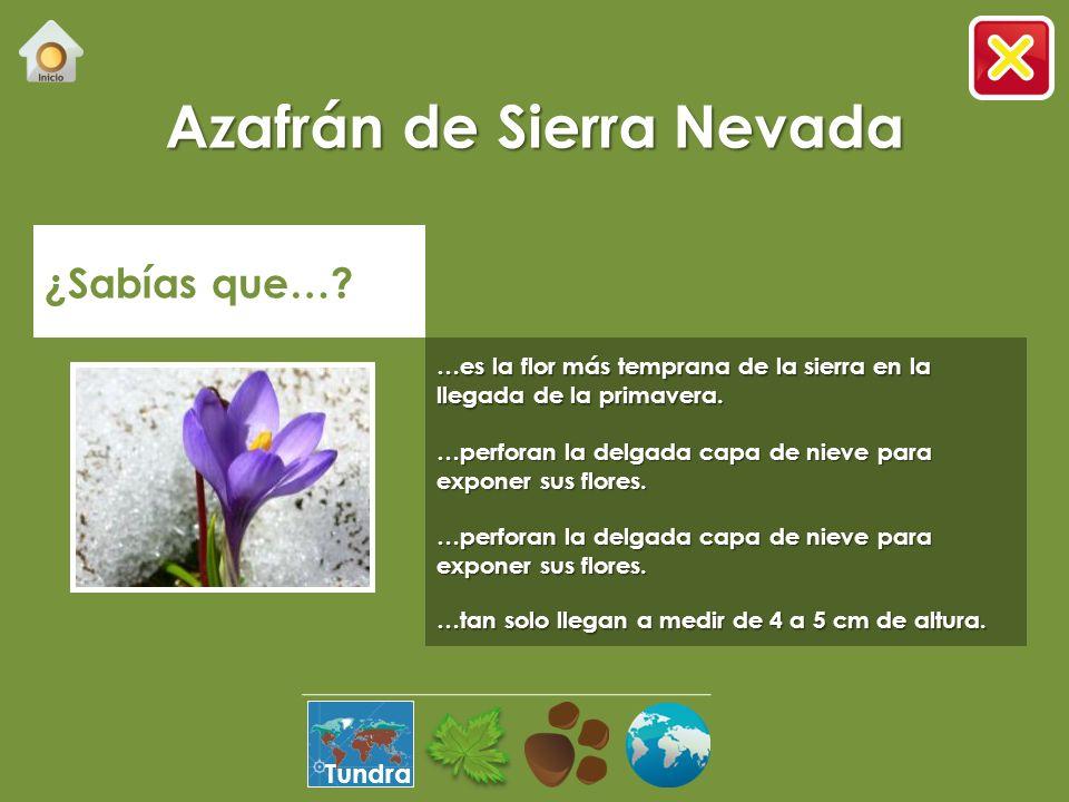 Azafrán de Sierra Nevada ¿Sabías que….