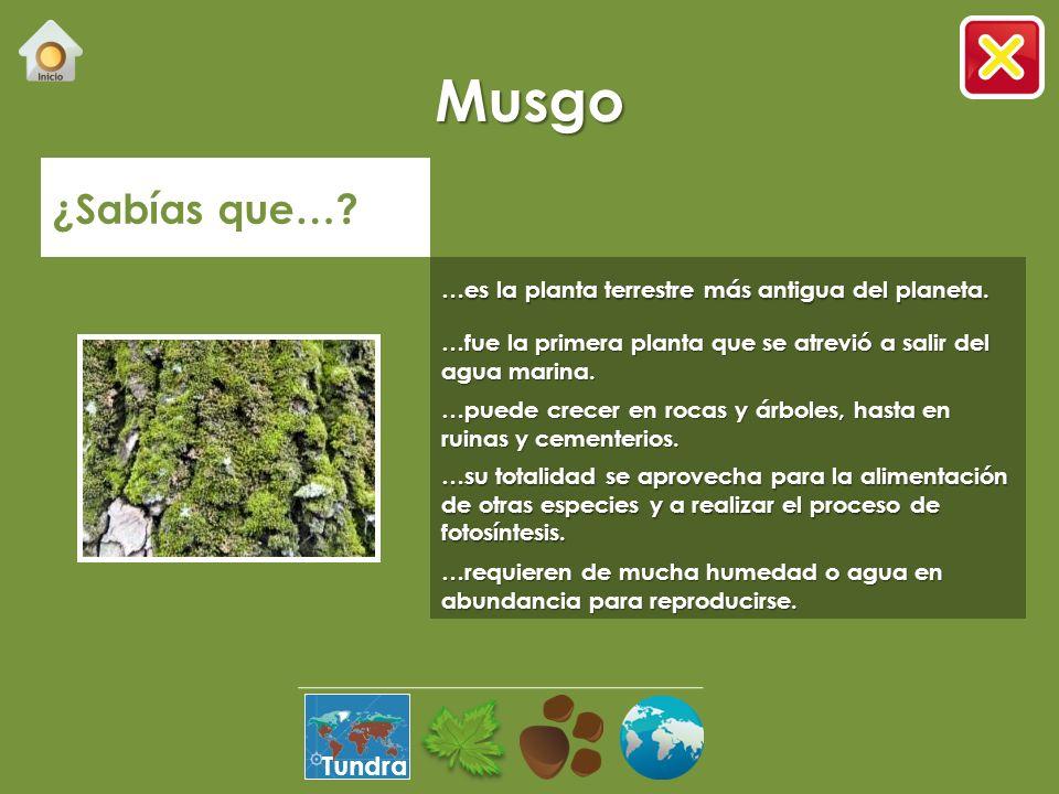 Musgo ¿Sabías que….…es la planta terrestre más antigua del planeta.