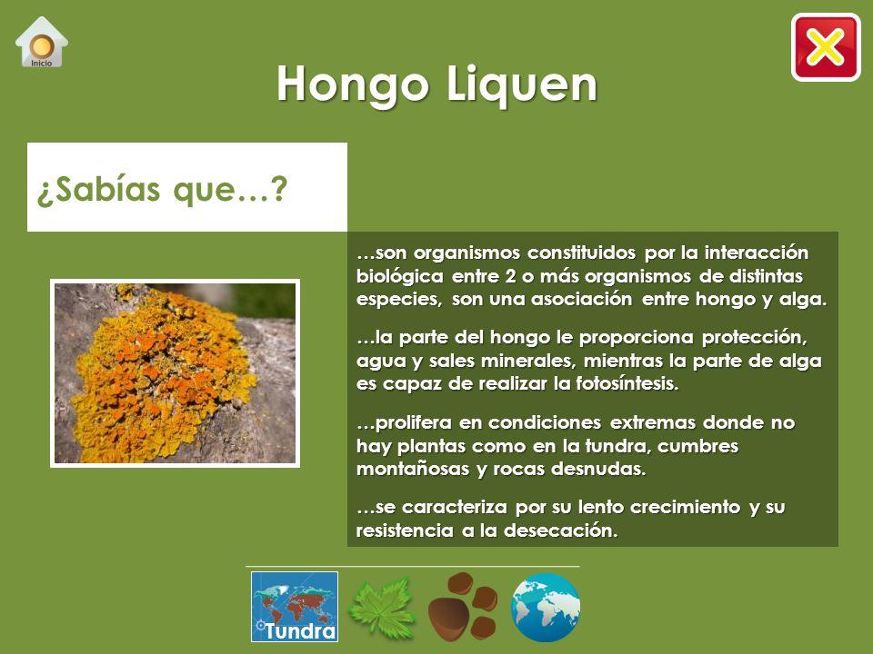 Musgo ¿Sabías que…? …es la planta terrestre más antigua del planeta. …fue la primera planta que se atrevió a salir del agua marina. …puede crecer en r