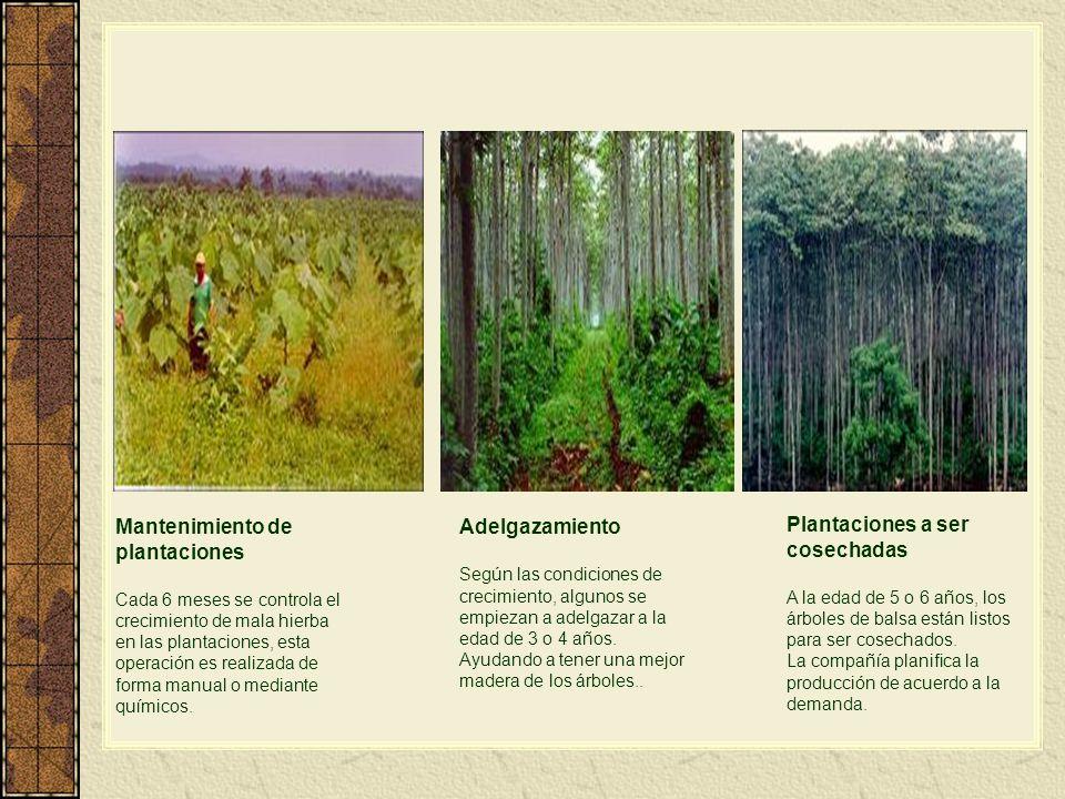Mantenimiento de plantaciones Cada 6 meses se controla el crecimiento de mala hierba en las plantaciones, esta operación es realizada de forma manual